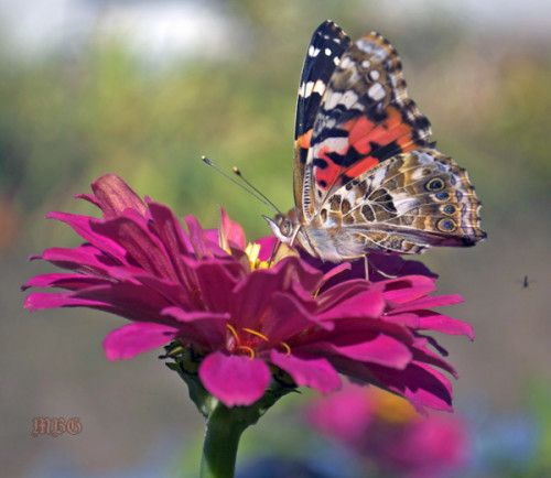 Which zinnia variety has attracted the MOST butterflies to our garden?