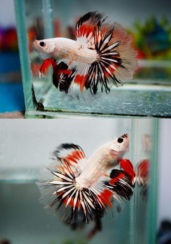 Betta fish betta and daily 3 on pinterest for Cute betta fish
