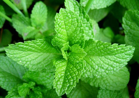 All types of mint are fast-growing, spreading plants, so you must give them a place to spread without getting in the way, or plant them in a pot...