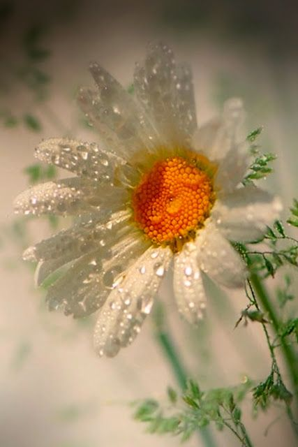 Dew on White Daisy: