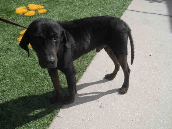 ●TO BE DESTROYED 7•14•16●My name is TITUS. I am a neutered male, black and tan Black and Tan Coonhound mix. I am an adult.I have been at the shelter since Feb 29, 2016.