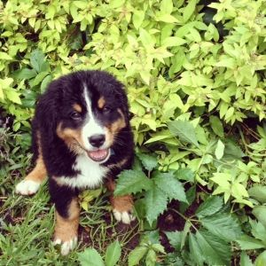 Meet Gus, our 9-week old Bernese Mountain Dog Puppy
