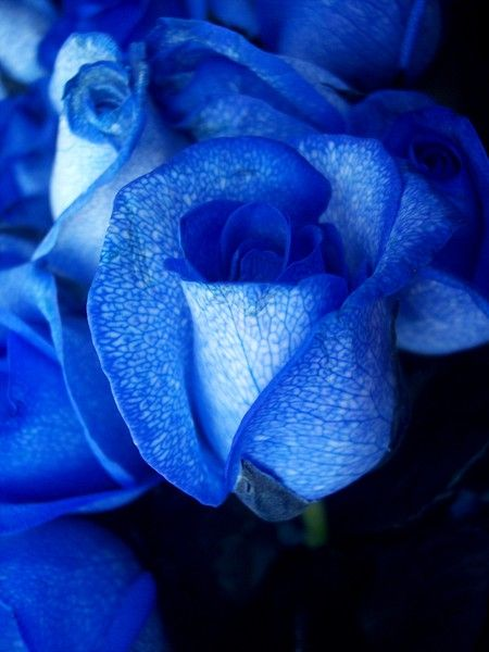 blue roses are created by artificially colouring white roses, often portrayed in literature & art as a symbol of love & prosperity for those who seek it.