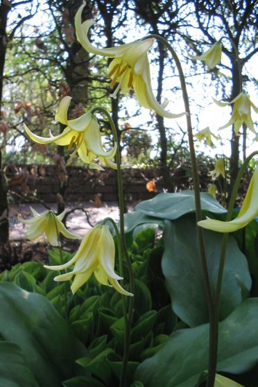 Hondstand (Erythronium 'Pagoda')