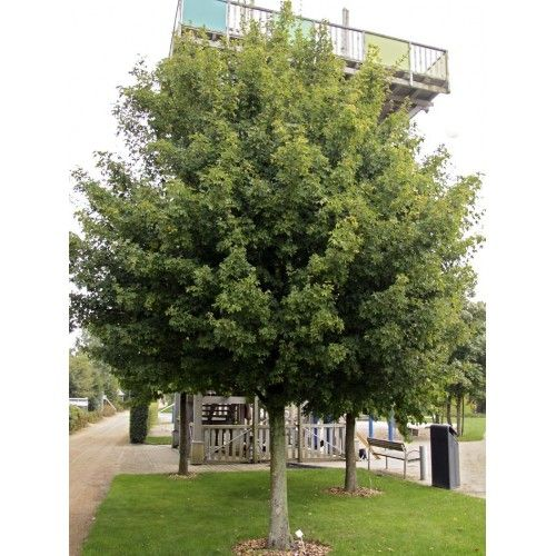 Weeping Cherry Tree Clearance News Plant Sales Plant Specials Plants Hello Hello Plants Garden Supplies