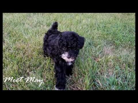 Mini Poodle Puppies For Sale In Troutman North Carolina Poodle Poodlepuppies Poodlepuppy Puppies Poodle Puppy Puppy Adoption