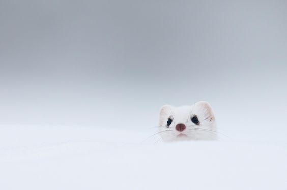 White stoat