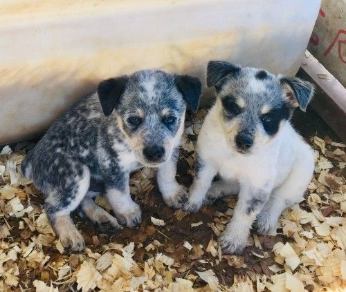 3 4 Blue Heeler 1 4 Australian Shepherd Pups For More