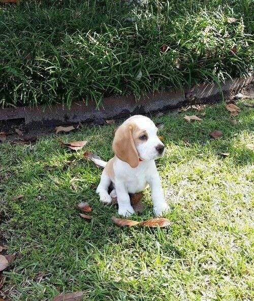 Discover More Information On Beagle Puppies Look Into Our Site Beagle Puppy Cute Beagles Beagle Dog