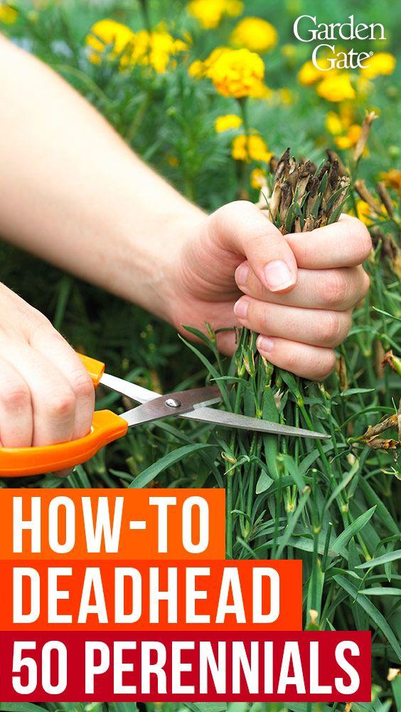 Perennial Deadheading Guide Deadheading Flowers Perennials Flowers Perennials