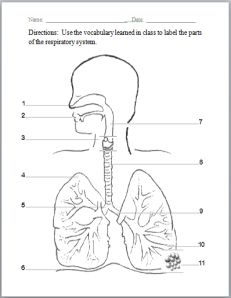 Printables Respiratory System Worksheets respiratory system and worksheets worksheet