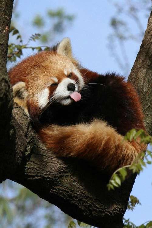 レッサーパンダ舌を出してお昼寝姿