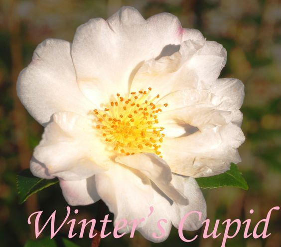 Cold-Hardy Camellia Varieties | Cold Hardy Camellias by Dr. William Ackerman | CamelliaWeb Express