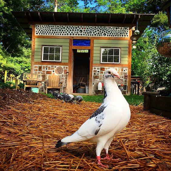 This is Speckles. @toryxs' bird. He's a #poser. #racingpigeon #pigeonracing #duiven #duif # #palomas #taube #tauben #pegion #columbalivia #pigeonsofinstagram #cordwood #iphoneonly
