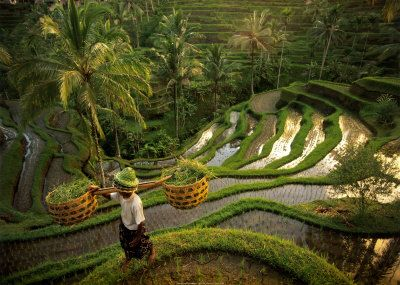 Riziere, Bali Reproduction d'art