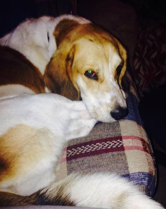 Lost Dog Alexandria Basset Hound Beagle Mix Male Date Lost 11 04 2018 Dog S Name Teddy Breed Of Dog Basset Hound Beag Dog Corner Beagle Beagle Dog
