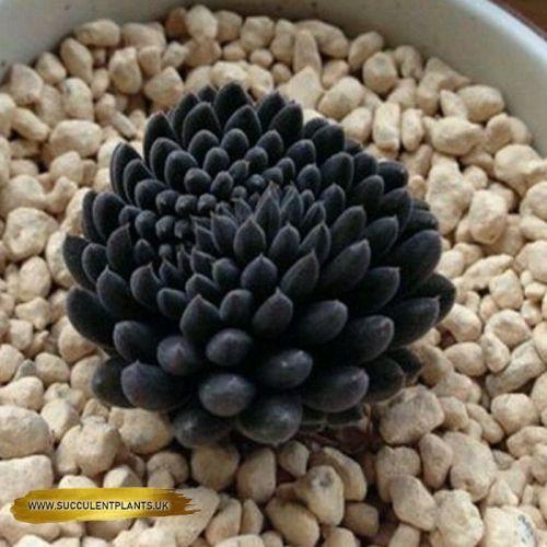 Sinocrula Yunnanensis Leaf Cuttings For To Grow