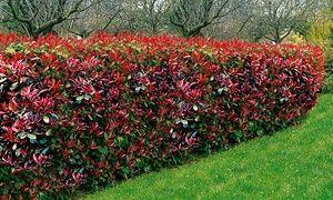 Garten Hecke Garten Groupon Gutschein Baldur Garten Photinia Hecke Red Robin Mit 10 20 30 Oder 50 Pflanzen Garten Hecken Straucher Garten Heckenpflanzen