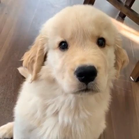 Golden Retrievers On Instagram Confusing Noises Dallas The
