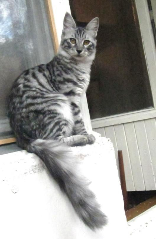 Black Silver Mackerel Tabby