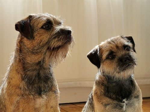 Border Terrier Pups For Border Terriers Their People Border