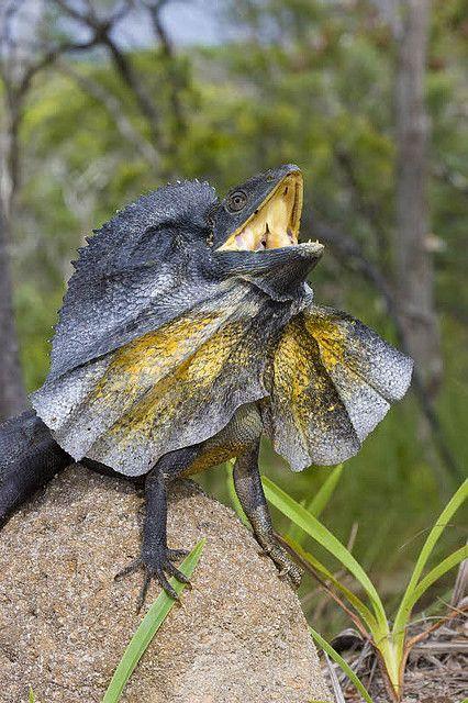 Frill Necked Lizard Chlamydosaurus Kingii Australia Lizard Australian Native Animals Australian Animals