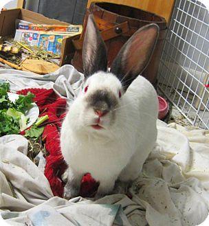 Californian Rabbit sitting in blankets