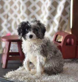 Pin On Cavapoo Puppies