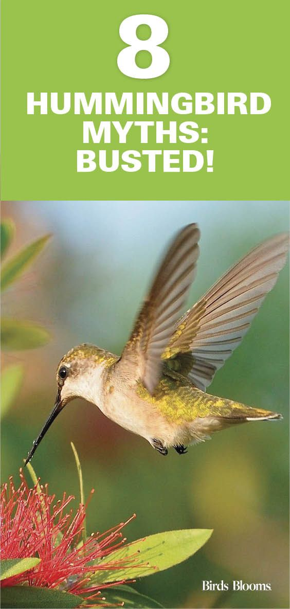 Here S The Truth About Hummingbirds Hummingbird Humming Bird Feeders How To Attract Hummingbirds