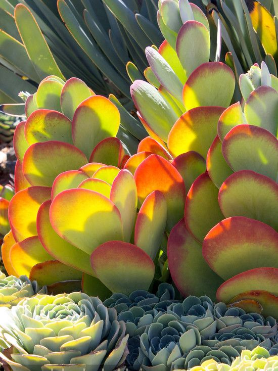 Kalanchoe luciae (paddle plant) and blue Echeveria imbricata at Oasis Water Efficient Gardens nursery, Escondido.: