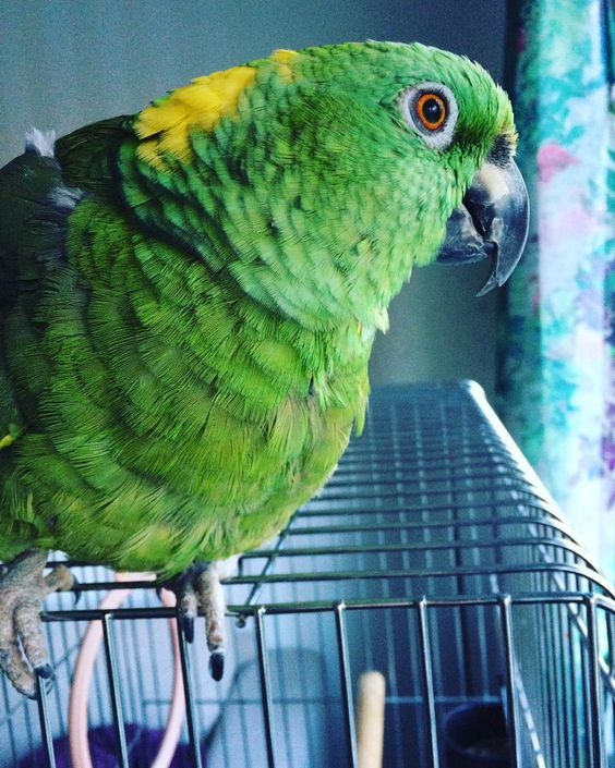 Dreamy eyes.  #parrot #papegoja #amazon #yellownapedamazon #gulnackadamazon #dreamy #drömande by betty_v1974