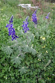 Cittaslow Botanik Park: Acem borusu çiçeği