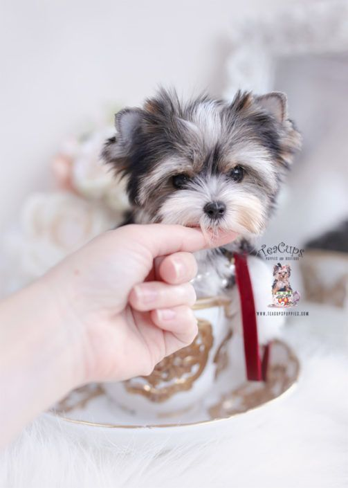 Toy Teacup Puppies For Sale Cuteteacuppuppies Parti Yorkie Puppy
