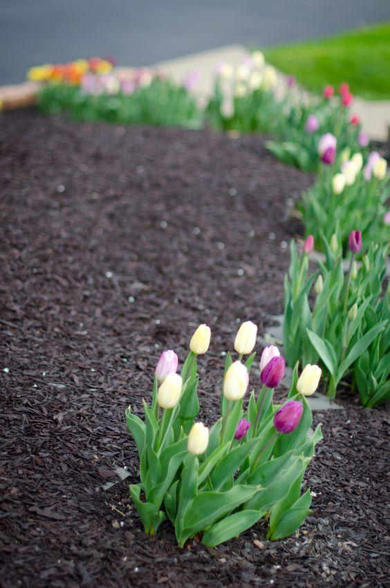 My tulips!