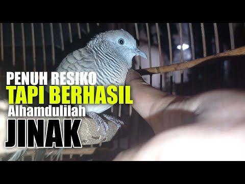 Cara Menjinakkan Perkutut Giras Jitu 100 Wajib Di Tonton Youtube Di 2021 Burung Tahu