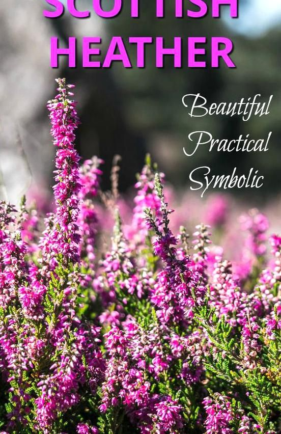 Beautiful Scottish Heather Is A World Famous Symbol Of Scotland This Wild And Sturdy Plant Is A Part Of Scotlan In 2020 Scottish Heather Scottish Flowers Heather Plant