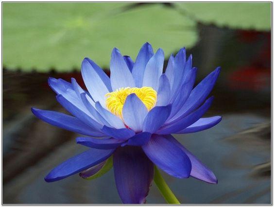 Blue lotus flowers for sale canvas painting pinterest for Lotus plant for sale