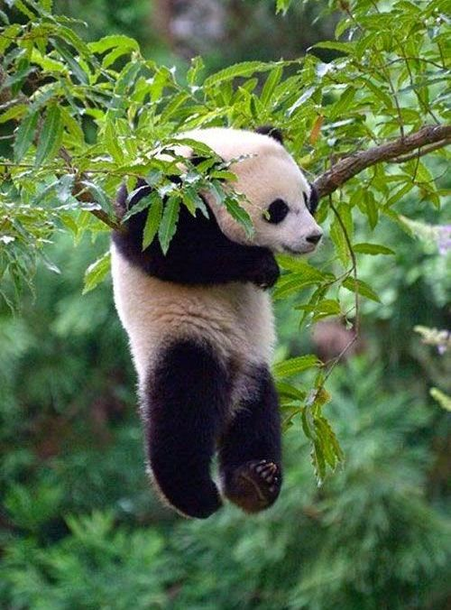 Hanging Panda Very Beautiful Beautiful Trees And The Tree