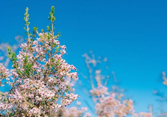 ジャノメエリカ(蛇の目エリカ)の鑑賞が楽しめる季節は冬、春です。