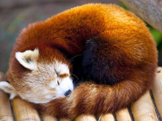 Red panda | red-panda-wallpaper-4-1400x1050.jpg