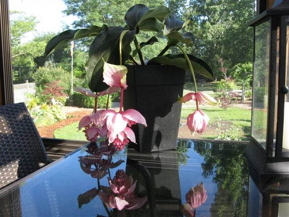 Medinilla Magnifica - I have one of these plants and it is absolutely beautiful!