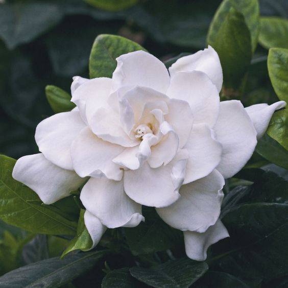 Top 6 Benefits of Gardenia Flowers & Gardenia Essential Oil by @draxe