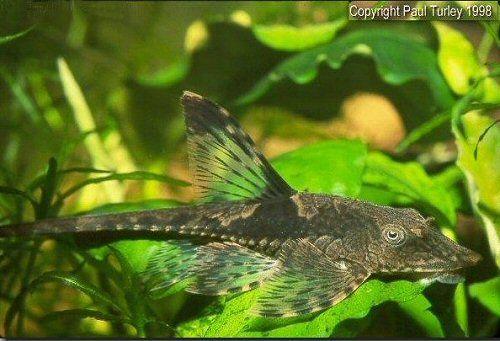 Keeping And Breeding Sturisomatichthys Leightoni The Dwarf Royal Farlowella Aquarium Catfish Fish Pet Breeds