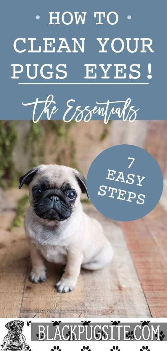 7 Easy Steps To Clean Your Pugs Eyes Regular Cleaning Can Help