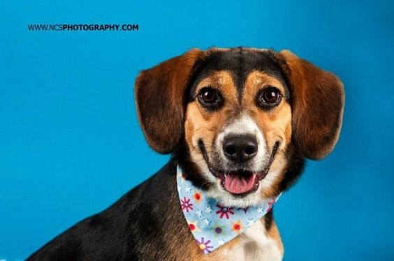 Written by For The Love of Paws: Annie is an 9 month old Beagle mix now available for adoption. Her tail never stops wagging and she is full of kisses to everyone she meets! Annie is an active pup wh