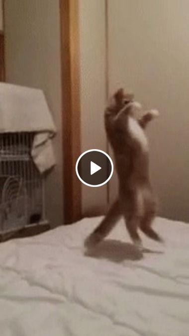Gato goku,pronto para batalha