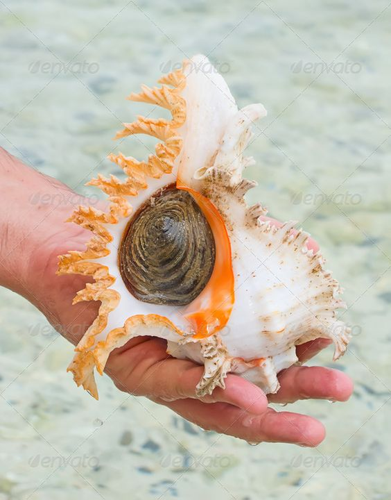 Sea shell ...  Sea shell on the shore  animal aquatic beach blue bright coast coastline conch creature crustacean day decor decoration empty fragile holiday idyllic image isolated lagoon life macro marine natural nature nobody object ocean outdoors oyster pacific sand scallop sea seashell seashore shell shore snail souvenir spiral summer sunshine texture travel tropical vacation vacations water wildlife