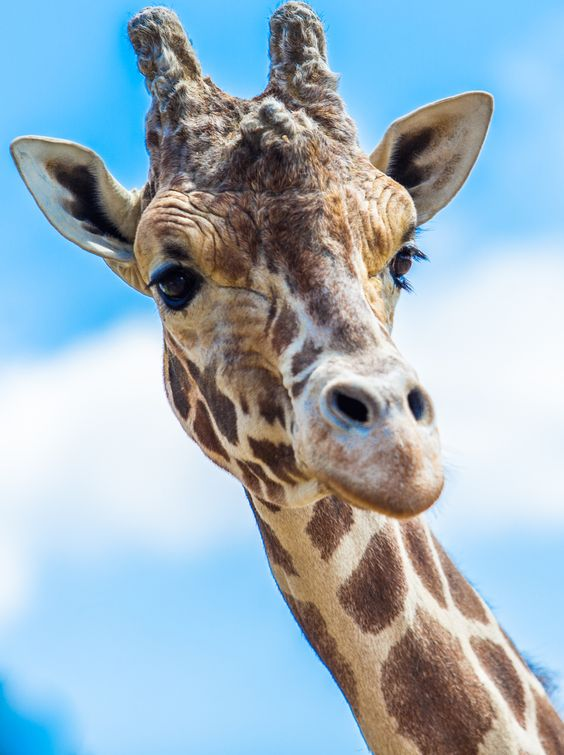 giraff by John Gilley on 500px