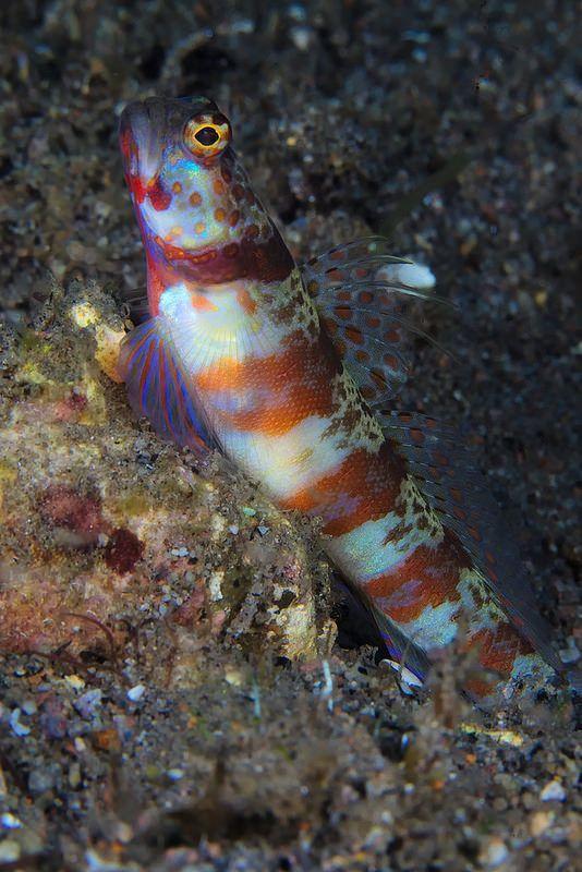 Wheeler S Shrimp Goby Amblyeleotris Wheeleri Sea Creatures Ocean Animals Underwater Creatures