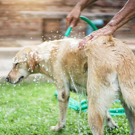 Dog Days Of Summer When It S Too Hot For Your Dog To Be Outside Golden Retriever Dogs Golden Retriever Your Dog